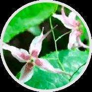 Epimedium Sagittatum